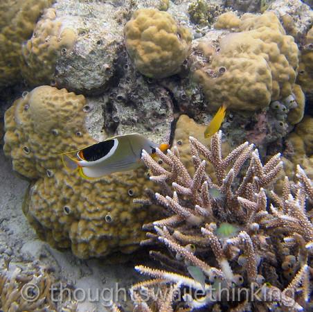 Micronesia 2007 : Saddled Butterflyfish IMG_1255.JPG