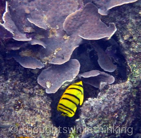 Micronesia 2007 : Eight-Banded Butterflyfish IMG_1187.JPG