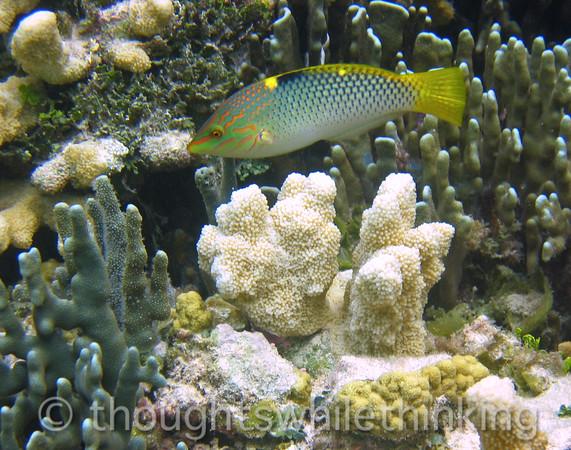 Micronesia 2007 : Checkerboard Wrasse IMG_1445.JPG