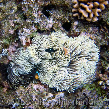 Micronesia 2007 : Clark's Anemonefish, Three-Spot Dascyllus, Pink Anemonefish IMG_1286.JPG