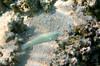 Micronesia 2007 : Threespot Wrasse (initial phase) IMG_1455.JPG