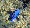 Micronesia 2007 : Palette Surgeonfish IMG_1385.JPG