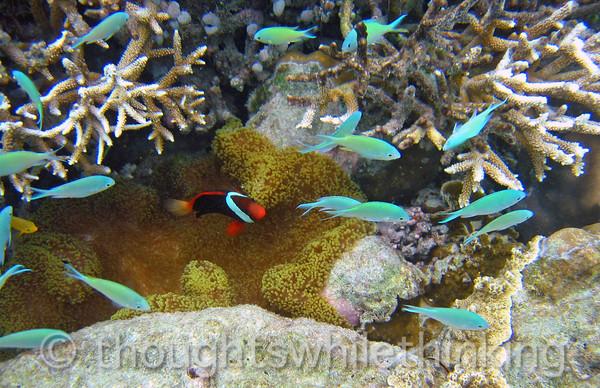 Micronesia 2007 : Tomato Anemonefish & friends IMG_1266.JPG