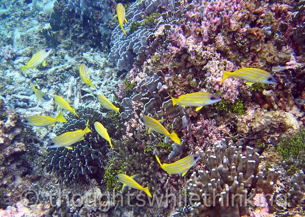 Micronesia 2007 : Bluestripe Snapper IMG_1398.JPG