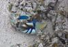 Micronesia 2007 : Brackish Damsel (juvenile) & Picasso Triggerfish IMG_1426.JPG
