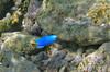 Micronesia 2007 : Blue Devil Damselfish IMG_1370.JPG