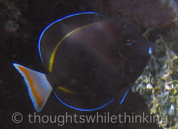 Micronesia 2007 : Whitecheek Surgeonfish IMG_1313.JPG