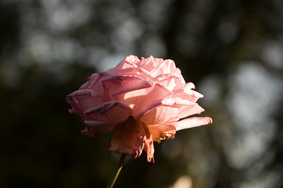 A pink rose in the late afternoon sun from the rose garden.  I'm drawn to its beauty, despite its fading bloom.