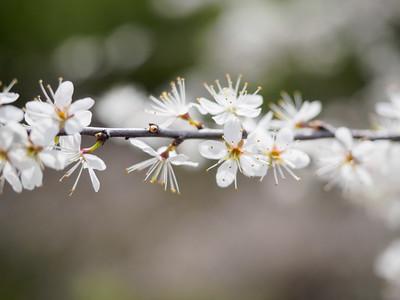 Blossom Line
