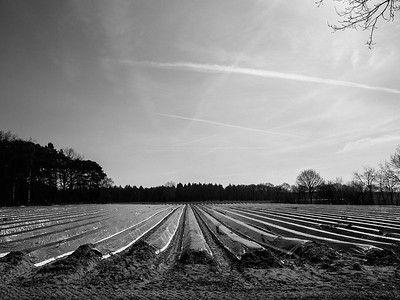 Asperagus Field