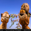 Middle East - GCC - Bahrain - Desert Barren area - Bahraini Arabian Desert - Traditional life of Camels in desert