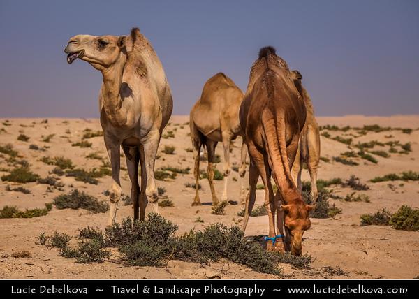Middle East - GCC - Bahrain - Desert Barren area - Bahraini Arabian Desert - Traditional life of Camels in desert