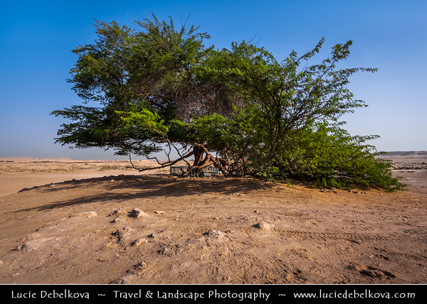 Middle East - GCC - Bahrain - Tree of Life - شجرة الحياة - Shajarat al-Hayah - 400 year old tree mesquite tree growing at highest point in barren area of Bahraini Arabian Desert, miles from another natural tree & believed to have tap roots reaching hundreds of feet down to aquifers