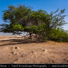 Middle East - GCC - Bahrain - Tree of Life - شجرة الحياة‎ - Shajarat al-Hayah - 400 year old tree mesquite tree growing at highest point in barren area of Bahraini Arabian Desert, miles from another natural tree & believed to have tap roots reaching hundreds of feet down to aquifers