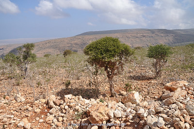 Commiphora socotrana