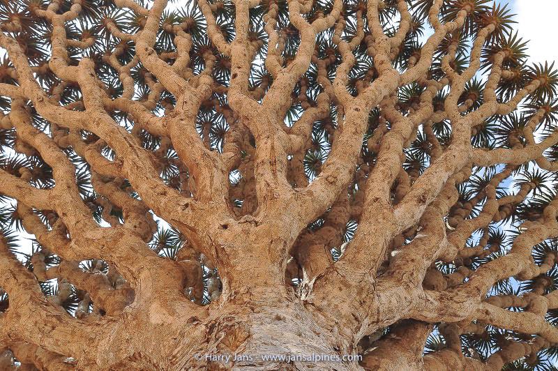 Dracaena cinnabari