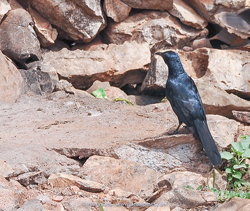 Socotra Starling  (Onychognathus frater) End.