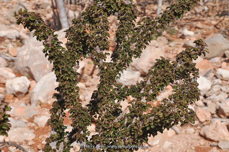 Croton socotranus