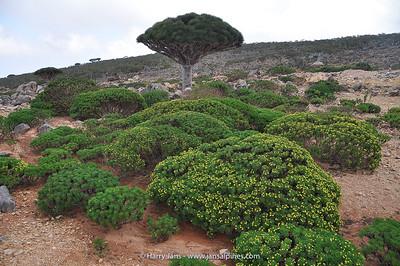 Dracaena cinnabari & Euryops arabicus