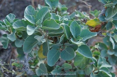Withania adunensis