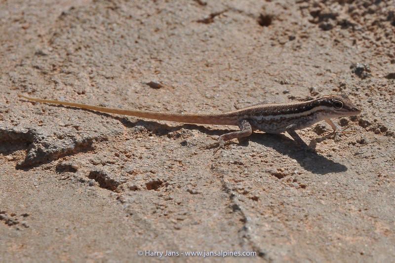 Socotra Rock Gecko (Pristurus socotranus) End.