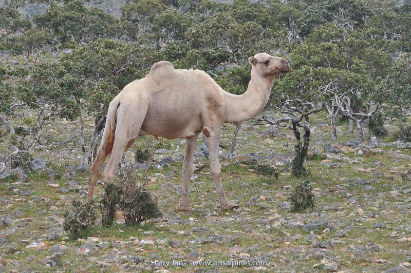 camel at Dixsam plateau