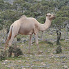camel at Dixsam plateau