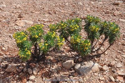 Euryops arabicus