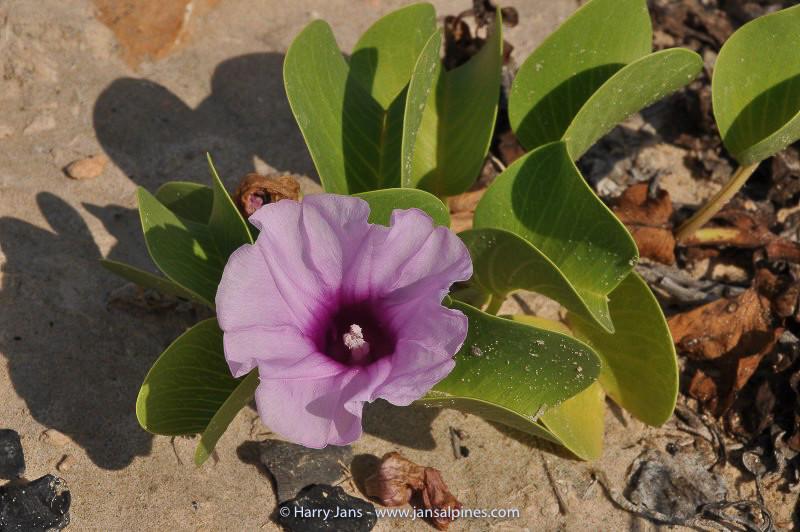 Ipomoea pes-caprae at Riyan beach
