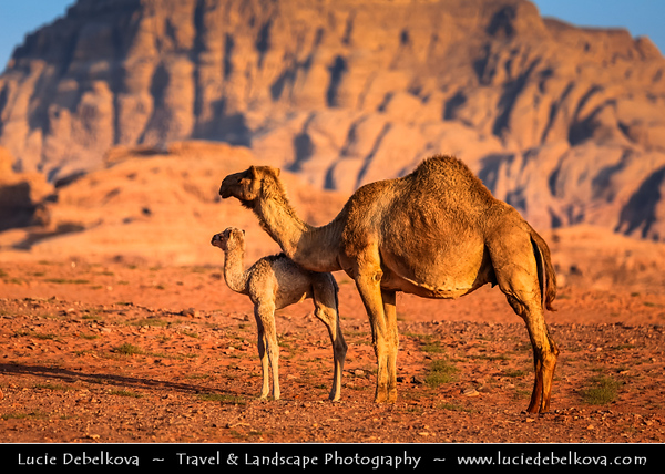 Jordan - Hashemite Arab Kingdom of Jordan - Wadi Rum - UNESCO World Heritage Site - The Valley of the Moon - Spectacularly scenic desert valley cut into the sandstone and granite rock in southern Jordan - Camels at the sunset light