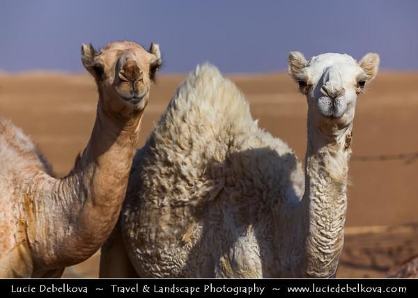 Middle East - GCC - Kuwait - Kuwaiti Desert - White Camels walki