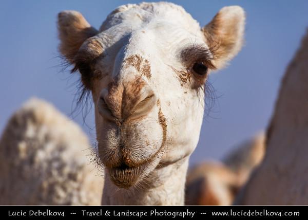 Middle East - GCC - Kuwait - Kuwaiti Desert - White Camels walking through sand area