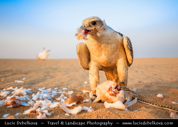 Middle East - GCC - Kuwait - Kuwaiti Desert - Pigeon being eaten by Falcon, bird of prey known for incredible hunting skills