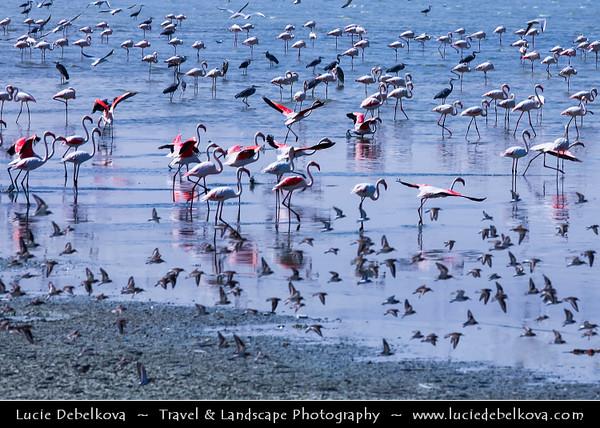 Middle East - GCC - Kuwait - Al Doha Port in Al-Hishan, part of Kuwait Bay - Migrating Flamingos