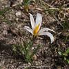 Crocus alatavicus