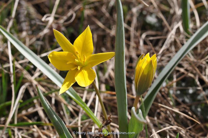 Tulipa dasystemon