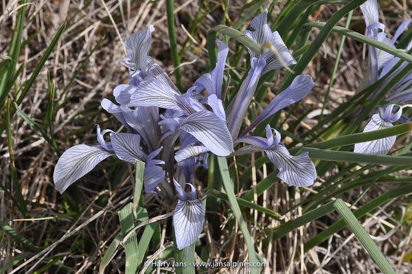 Iris loczyi