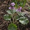 Primula kaufmanniana / lactiflora