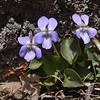 Viola cf. rupestris