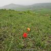 habitat Tulipa zenaidae