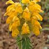 Eremostachys speciosa (Phlomoides)