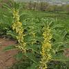 Astragalus sieversianus