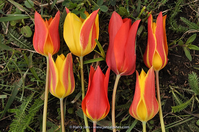 variation Tulipa zenaidae