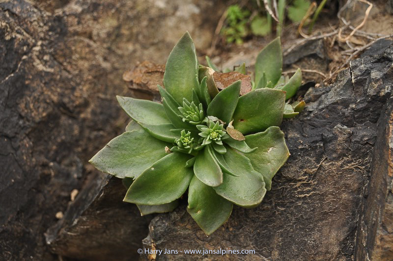 Rosularis turkestanica