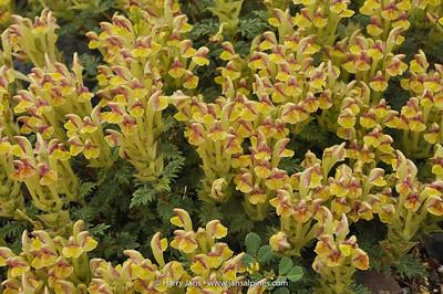 Scutellaria przewalskii