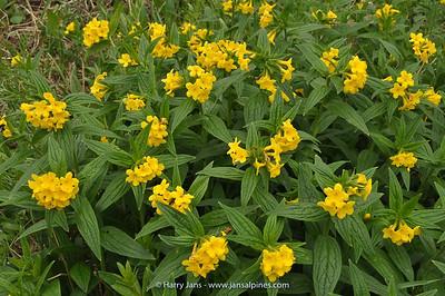 Ulugbeckia tschimganica (Lithospermum)