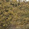 Salix ?