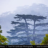 Lebanon - Libnān - Lubnān - Ouadi Qadisha (Holy Valley) & Forest of the Cedars of God (Horsh Arz el-Rab) - UNESCO World Heritage Site - Bcharré Majestic Cedar Tree Forest - Forêt de Bcharré - An ancient grove of cedars, the oldest in Lebanon in the mist -