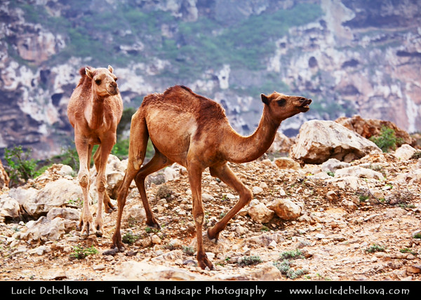 Middle East - Sultanate of Oman - Dhofar Province - Salalah Area - صلالة - Ṣalālah - Scenic coastal location along Indian Ocean surrounded by rugged mountains during Khareef - Rainy Season bringing misty & foggy weather - Camels freely wondering along the road