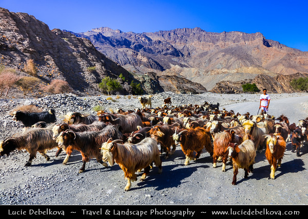 Middle East - Sultanate of Oman - South Batinah Governorate - Hajar Mountains - جبال الحجر‎ - Stone Mountains - Spectacular wall of mountains with dramatic canyons and rocky valleys in northeastern Oman - Shepherd with his goats